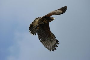 falconeria allontanamento volatili