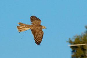 dissuasori volatili raptor bird control