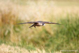allontanamento volatili raptor bird control