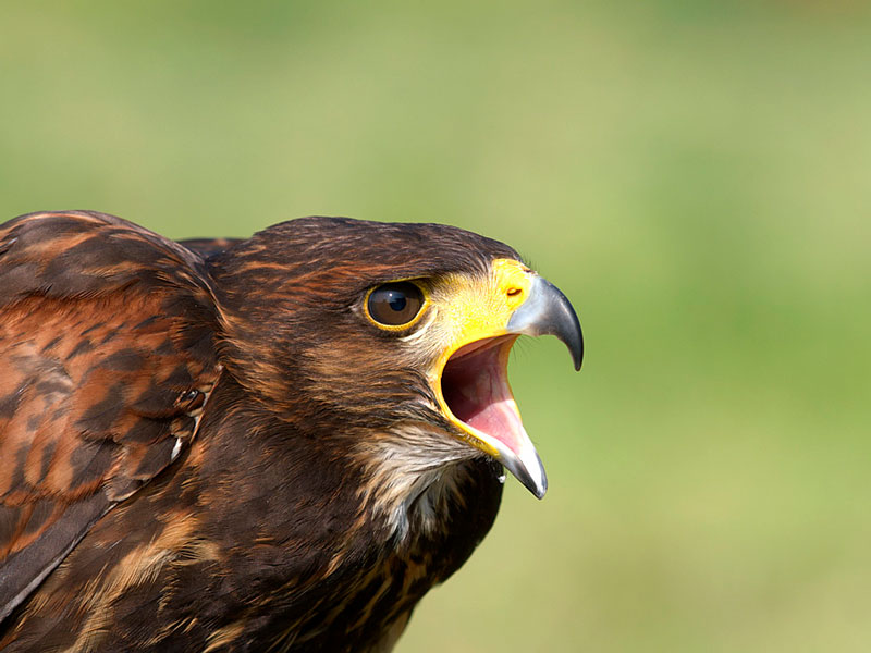 raptor bird control