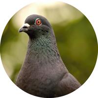 icona allontanamento piccioni